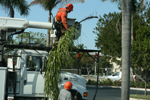 Full Range Of Tree Trimming Services In Broward County Hazardous Tree Removal